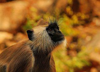 Según la investigación, los monos infectados con parásitos pasan menos tiempo acicalando a otros monos.